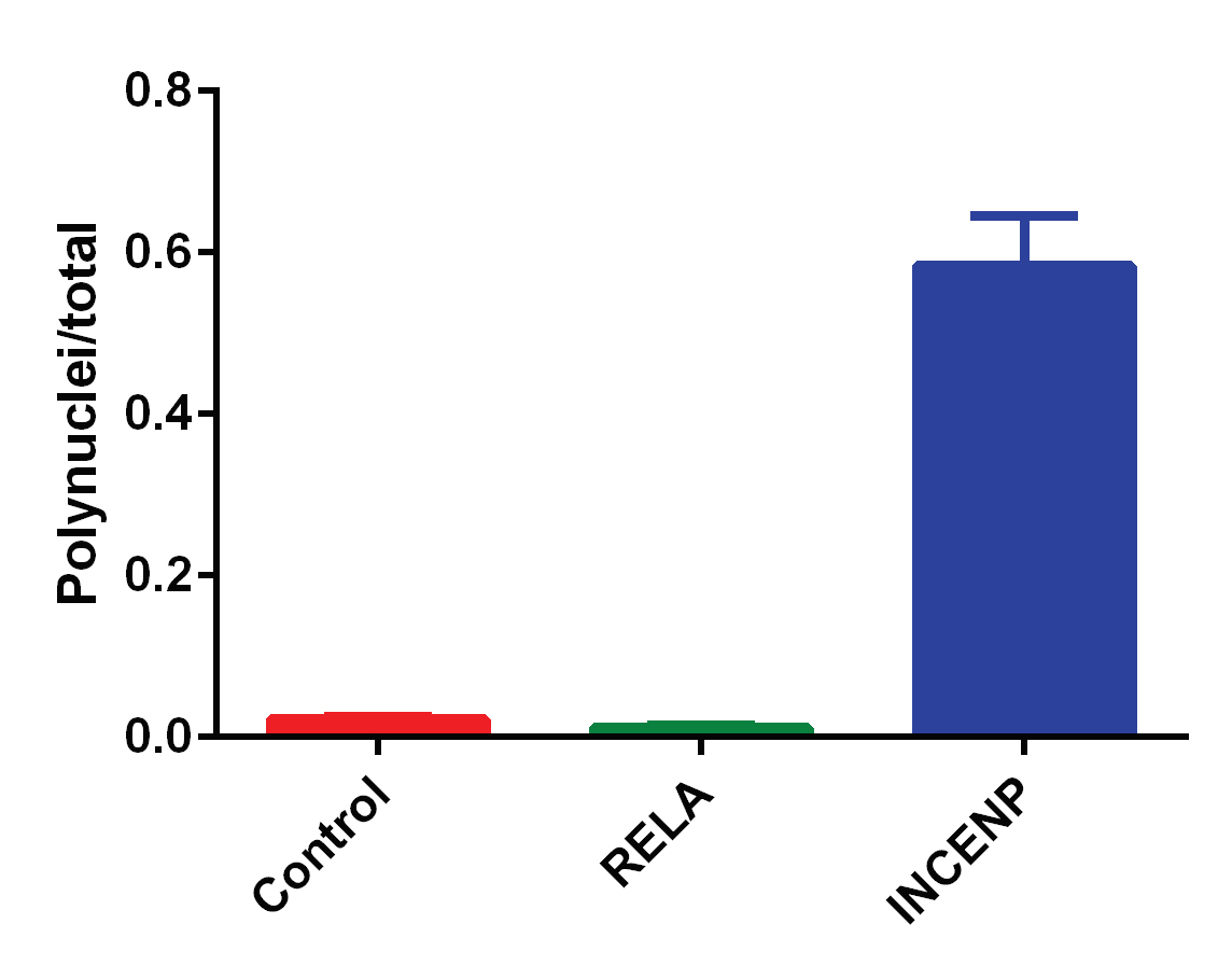 Ratio of polynuclei to total nuclei in Negative Control, RELA and INCENP RNAi transfections.