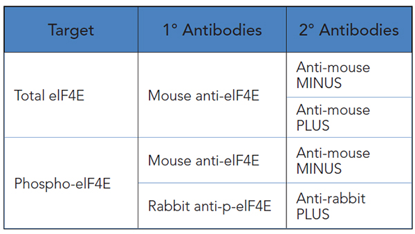 Primary and secondary antibody combinations used for elF4E studies.