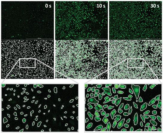 The masking tool enables measuring changes in fluorescence only within Fluo-4 containing cells