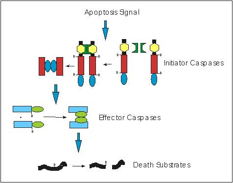 Schematic diagram of the Activation of the Caspase Cascade