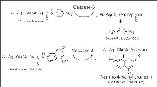 Caspase-3 Reaction Scheme for both colorimetric and fluorescent determinations.