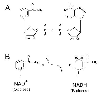 Structure and redox reaction of nicotinamide adenine dinucleotide (NAD+).