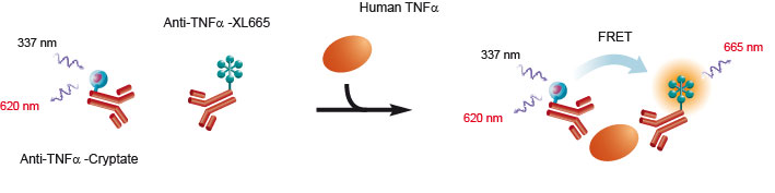 Schematic depicting the binding of donor and acceptor antibodies to Human TNF-a.