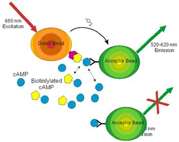 Schematic of competitive cAMP Assay.