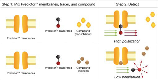 Illustration of the Principle of the Predictor™ hERG Fluorescence Polarization Assay.