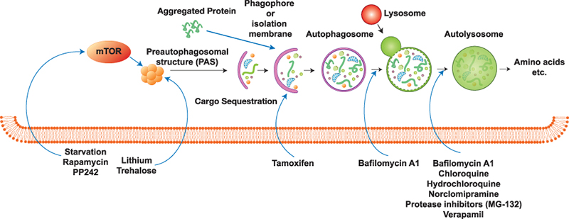 Schematic depiction of autophagy.
