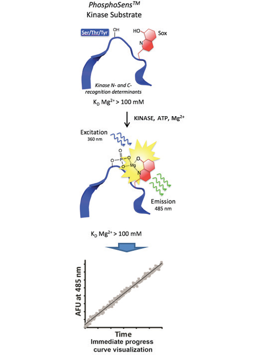 Chelation Enhanced Fluorescence (ChEF) Mechanism for Direct Protein Kinase Activity Sensing.