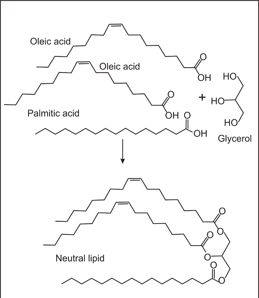 Conversion of free fatty acids to neutral lipids