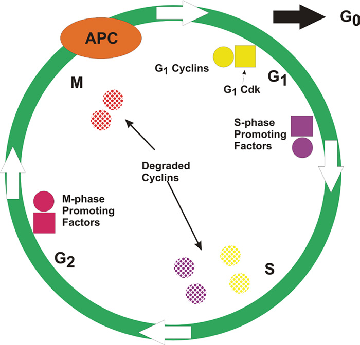Schematic of cell cycle.