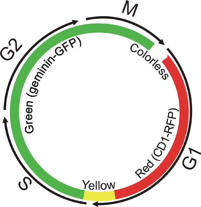 Dynamic Color change of Premo™ FUCCI Cell Cycle Sensor.