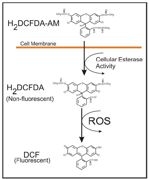 Formation of fluorescent Compound DCF by ROS.
