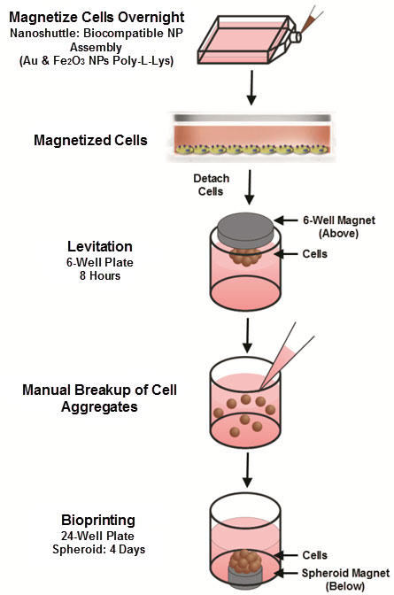 Preparation of Target Cells for Directed T Cell Activation.