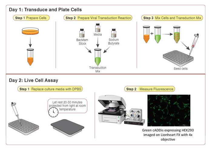 Montana Molecular protocol for biosensor cell transduction.