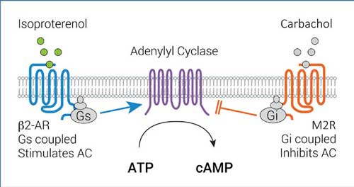 Regulation of adenylyl cyclase activity by Gs- and Gi-dependent pathways