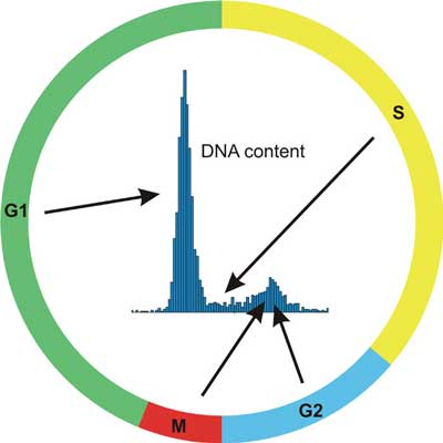 Relationship between Cycle and DNA content histogram.