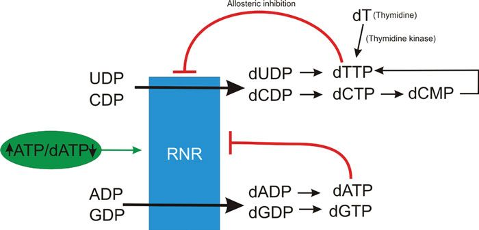 Schematic regulation of ribonucleotide reductase by dNTP pools.