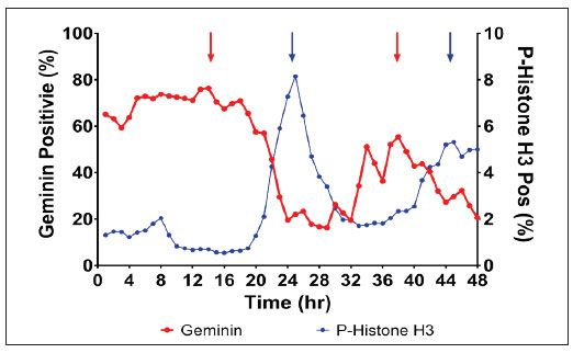 Temporal relationship between Geminin and p-Histone H3 in Synchronized PC-3 Cells
