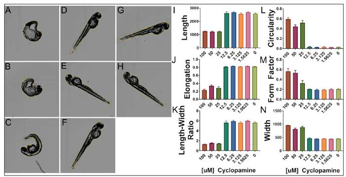 Embryos exposed to cyclopamine present with a curved phenotype and twisted tails