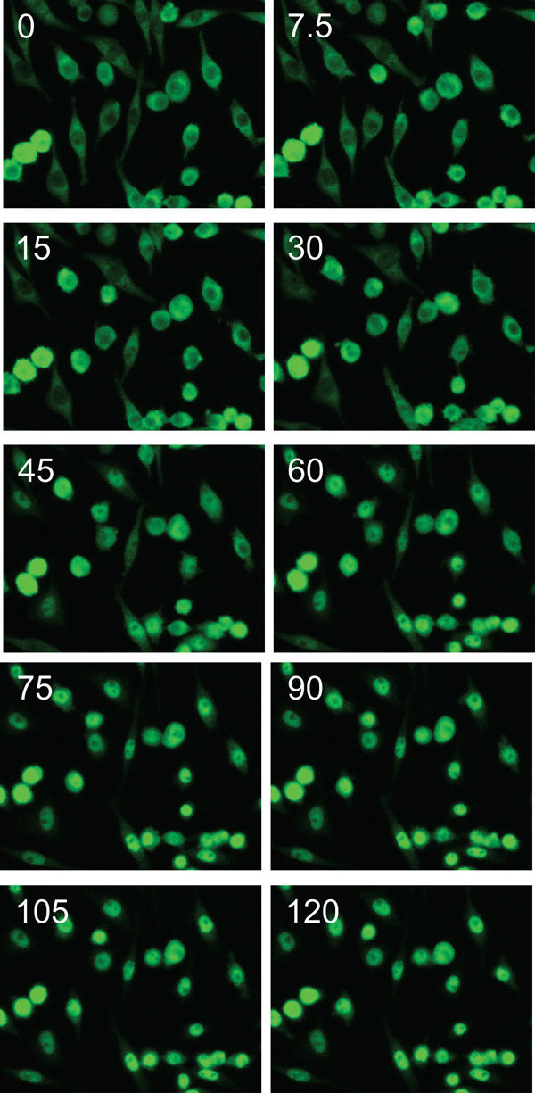 Time-lapse images of RAW G9 Cells stimulated with 30 ng/mL LPS.