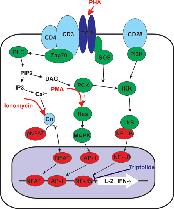 Schematic of signal cascade for stimulation of IL-2 and INF-γ secretion.