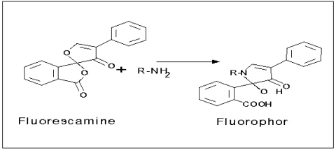 Reaction of fluorescamine and primary amino groups