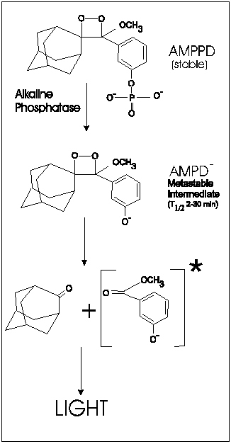 Chemical reaction of substrate (AMPPD) and alkaline phosphatase yielding products that break down and eventually emit light.