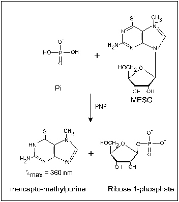 Enzymatic Conversion of MESG to ribose 1-phosphate and 2-amino-6-mercapto-7-methylpurine by PNP