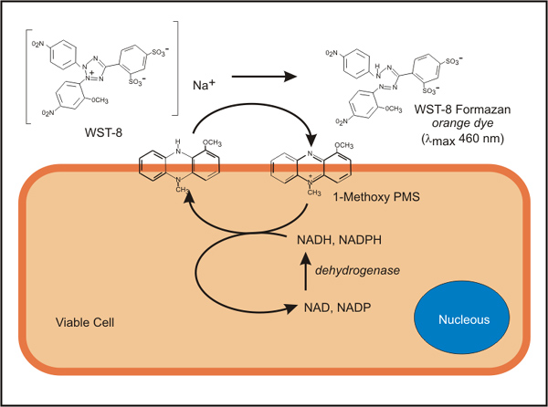 WST-8 Assay Mechanism