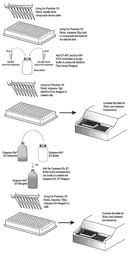 A schematic diagram of the ApoTox-Glo assay protocol.