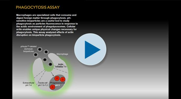 Phagocytosis Assay