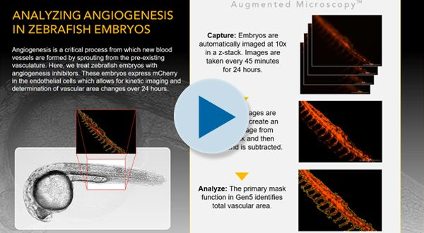 Angiogenesis in Zebrafish Embryos